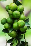 Gemensam limefrukt Arkivfoton