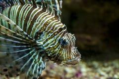 Gemensam lionfish- eller jäkelfirefish (Pteroismiles) Royaltyfri Foto