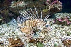 Gemensam lionfish- eller jäkelfirefish (Pteroismiles) Royaltyfria Bilder