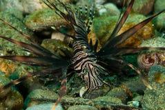 Gemensam lionfish i Ambon, Maluku, Indonesien undervattens- foto Royaltyfria Bilder