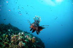 Gemensam Lionfishsimning ovanför korallrever i Gili, Lombok, Nusa Tenggara Barat, Indonesien undervattens- foto royaltyfri bild