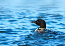 Gemensam lom eller stor nordlig dykare - gaviaimmer arkivfoton