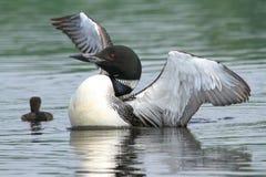 Gemensam lom och fågelunge Royaltyfri Bild