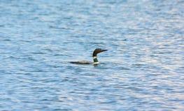 Gemensam lomsimning i en sjö Fotografering för Bildbyråer