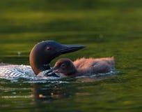 Gemensam Loon med fågelungen Royaltyfria Bilder