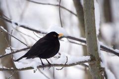 gemensam male merulaturdus för blackbird Royaltyfri Foto
