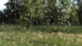 Gemensam maskros, taraxacumofficinale, frö som blåsas och skingras av vind, lager videofilmer
