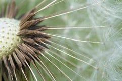 gemensam maskrostaraxacum Fotografering för Bildbyråer