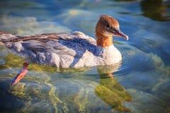 Gemensam Merganser i vattnet Arkivfoto