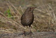 gemensam merulaturdus för blackbird Fotografering för Bildbyråer
