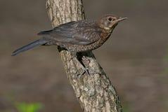 gemensam merulaturdus för blackbird Arkivbild