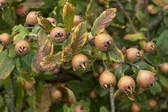 Gemensam mispel - frukter på träd royaltyfria bilder