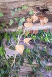 gemensam murgröna Arkivbild