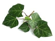 Gemensam murgröna (Hederaspiralen) Arkivfoto