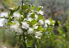 Gemensam myrten, communis blomma för myrtus royaltyfri bild