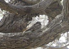 Gemensam nattkrus på en trädfilial Arkivbilder