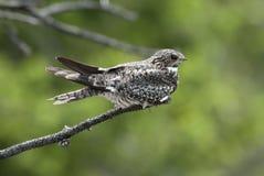 gemensam nighthawk Royaltyfri Fotografi