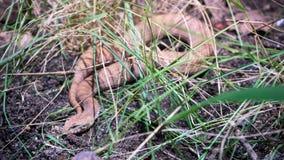 Gemensam orm för dödhuggorm Arkivbild