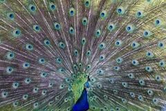 gemensam peafowl Royaltyfri Fotografi