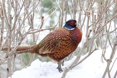gemensam pheasant Arkivbild