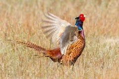 gemensam pheasant Royaltyfria Foton