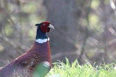 gemensam pheasant Arkivfoto
