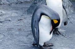 Gemensam pingvin Royaltyfri Fotografi