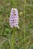 Gemensam prickig orkidé (Dactylorhizafuchsiien) arkivfoton