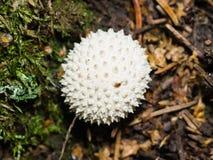 Gemensam puffball- eller Lycoperdonperlatum, ätlig lös champinjon, makro Royaltyfri Bild