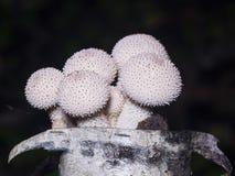 Gemensam puffball- eller Lycoperdonperlatum för ätliga champinjoner, makro, selektiv fokus, grund DOF Royaltyfria Foton