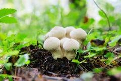 Gemensam Puffball för ätlig champinjon, Lycoperdonperlatum Fotografering för Bildbyråer