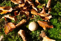 Gemensam puffball i skog Royaltyfri Foto