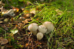 Gemensam Puffball - Lycoperdonperlatum Royaltyfri Fotografi