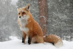 Gemensam röd räv i snöstorm Fotografering för Bildbyråer