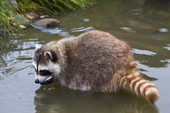 Gemensam raccoon eller Procyonlotor Arkivbilder