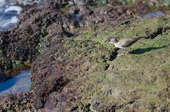 gemensam sandpiper fotografering för bildbyråer