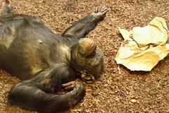 Gemensam schimpans (den robusa schimpansen) Royaltyfri Fotografi