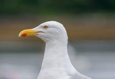 gemensam seagull Royaltyfria Bilder
