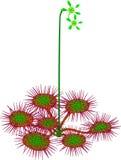 Gemensam sileshår - Droserarotundifolia Arkivbild