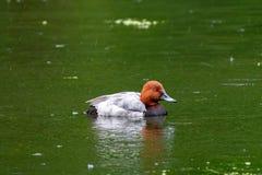 Gemensam simning för ferina för PochardpostAythya i sjön fotografering för bildbyråer