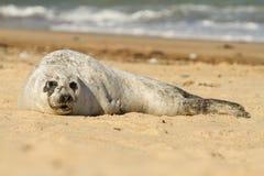 Gemensam skyddsremsa för grå färger på stranden Fotografering för Bildbyråer