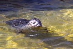 Gemensam skyddsremsa, Phocavitulina som simmar i klart vatten Royaltyfri Bild