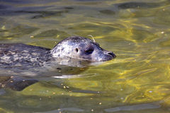Gemensam skyddsremsa, Phocavitulina som simmar i klart vatten Royaltyfri Foto