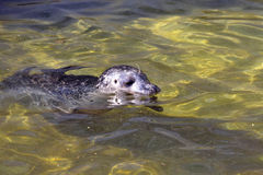 Gemensam skyddsremsa, Phocavitulina som simmar i klart vatten Royaltyfria Bilder