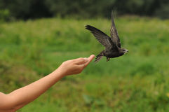 Gemensam snabb fågel (Apus-apus) Fotografering för Bildbyråer