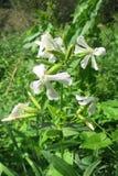 Gemensam soapwort (Saponariaofficinalis) Arkivfoto