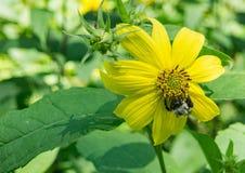 Gemensam solros och Honey Bee Fotografering för Bildbyråer