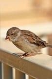 gemensam sparrow Fotografering för Bildbyråer