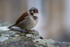 gemensam sparrow Royaltyfri Fotografi