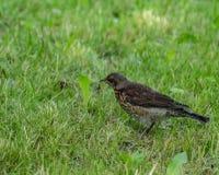 Gemensam stare i ett gräs Royaltyfri Fotografi